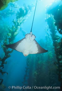 California bat ray in kelp forest, Myliobatis californica, Macrocystis pyrifera, San Clemente Island
