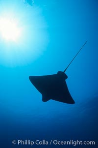 California bat ray. San Clemente Island, USA, Myliobatis californica, natural history stock photograph, photo id 01917