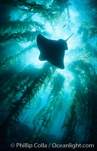 California bat ray swimming amidst giant kelp forest, Myliobatis californica, Macrocystis pyrifera, Santa Barbara Island