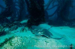 California bat ray. San Clemente Island, USA, Myliobatis californica, natural history stock photograph, photo id 04986