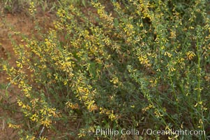 California broom, common deerweed.  The flowers, originally yellow in color, turn red after pollination.  Batiquitos Lagoon, Carlsbad. Batiquitos Lagoon, Carlsbad, California, USA, Lotus scoparius scoparius, natural history stock photograph, photo id 11336