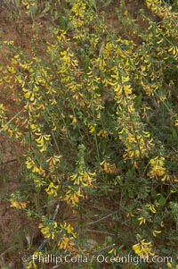 California broom, common deerweed.  The flowers, originally yellow in color, turn red after pollination.  Batiquitos Lagoon, Carlsbad, Lotus scoparius scoparius