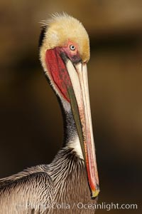 Brown pelican portrait, displaying winter breeding plumage with distinctive dark brown nape, yellow head feathers and red gular throat pouch. La Jolla, California, USA, Pelecanus occidentalis, Pelecanus occidentalis californicus, natural history stock photograph, photo id 22529