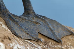California brown pelican, foot webbing detail, Pelecanus occidentalis, Pelecanus occidentalis californicus, La Jolla