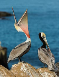 California Brown Pelican head throw, stretching its throat to keep it flexible and healthy. Note the winter mating plumage, olive and red throat, yellow head. La Jolla, USA, Pelecanus occidentalis, Pelecanus occidentalis californicus, natural history stock photograph, photo id 30347