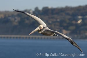 Brown pelican in flight.  The wingspan of the brown pelican is over 7 feet wide. The California race of the brown pelican holds endangered species status.  In winter months, breeding adults assume a dramatic plumage. La Jolla, California, USA, Pelecanus occidentalis, Pelecanus occidentalis californicus, natural history stock photograph, photo id 20053