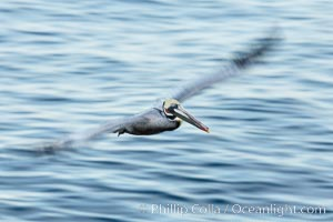 Brown pelican in flight.  The wingspan of the brown pelican is over 7 feet wide. Long exposure shows motion as a blur. The California race of the brown pelican holds endangered species status.  In winter months, breeding adults assume a dramatic plumage with dark brown hindneck and bright red gular throat pouch, Pelecanus occidentalis, Pelecanus occidentalis californicus, La Jolla