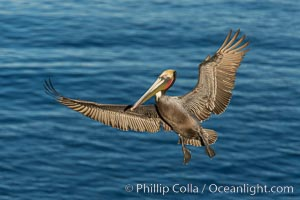 California brown pelican in flight. The wingspan of the brown pelican is over 7 feet wide. The California race of the brown pelican holds endangered species status. In winter months, breeding adults assume a dramatic plumage. La Jolla, USA, Pelecanus occidentalis, Pelecanus occidentalis californicus, natural history stock photograph, photo id 28968