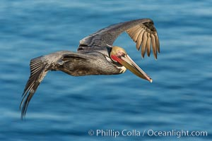 California brown pelican in flight. The wingspan of the brown pelican is over 7 feet wide. The California race of the brown pelican holds endangered species status. In winter months, breeding adults assume a dramatic plumage, Pelecanus occidentalis californicus, Pelecanus occidentalis, La Jolla