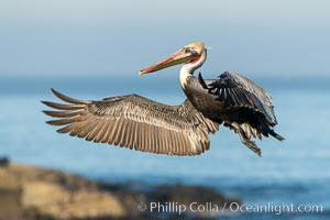 California Brown Pelican In Flight, La Jolla California