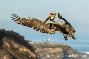 California brown pelican in flight, spreading wings wide to slow in anticipation of landing on seacliffs, Pelecanus occidentalis californicus, Pelecanus occidentalis, La Jolla