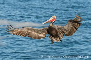 California brown pelican in flight, wings spread wide as it approaches its landing area on cliffs over the sea, Pelecanus occidentalis californicus, Pelecanus occidentalis, La Jolla