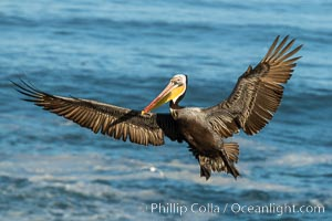 California brown pelican in flight, spreading wings wide to slow in anticipation of landing on seacliffs, Pelecanus occidentalis, Pelecanus occidentalis californicus, La Jolla