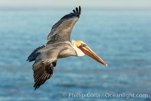 California brown pelican soaring over the ocean, Pelecanus occidentalis californicus, Pelecanus occidentalis, La Jolla