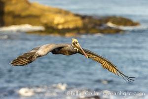 California brown pelican in flight, spreading wings wide to slow in anticipation of landing on seacliffs, Pelecanus occidentalis californicus, Pelecanus occidentalis, La Jolla