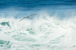 California Brown Pelican flying over a breaking wave. La Jolla, USA, natural history stock photograph, photo id 30363