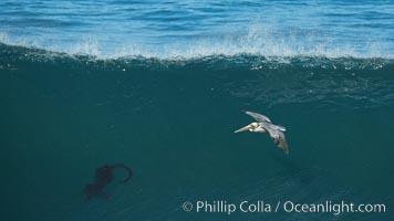 California Brown Pelican flying over a breaking wave. La Jolla, California, USA, natural history stock photograph, photo id 30373
