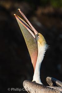 California Brown Pelican head throw, stretching its throat to keep it flexible and healthy. La Jolla, USA, Pelecanus occidentalis, Pelecanus occidentalis californicus, natural history stock photograph, photo id 30175