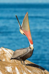 California Brown Pelican head throw, stretching its throat to keep it flexible and healthy. La Jolla, California, USA, Pelecanus occidentalis, Pelecanus occidentalis californicus, natural history stock photograph, photo id 30284