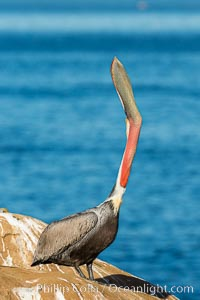 California Brown Pelican head throw, stretching its throat to keep it flexible and healthy, Pelecanus occidentalis, Pelecanus occidentalis californicus, La Jolla