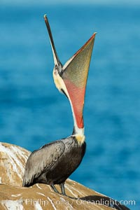 California Brown Pelican head throw, stretching its throat to keep it flexible and healthy. La Jolla, California, USA, Pelecanus occidentalis, Pelecanus occidentalis californicus, natural history stock photograph, photo id 30287