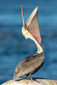 California Brown Pelican head throw, stretching its throat to keep it flexible and healthy. Note the winter mating plumage, olive and red throat, yellow head., natural history stock photograph, photo id 36606