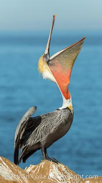 California Brown Pelican head throw, stretching its throat to keep it flexible and healthy. Note the winter mating plumage, olive and red throat, yellow head. La Jolla, USA, Pelecanus occidentalis, Pelecanus occidentalis californicus, natural history stock photograph, photo id 30335