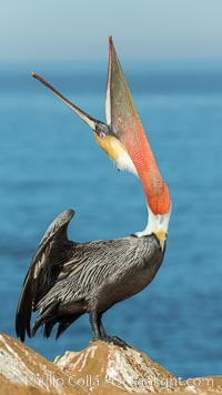 California Brown Pelican head throw, stretching its throat to keep it flexible and healthy. Note the winter mating plumage, olive and red throat, yellow head. La Jolla, USA, Pelecanus occidentalis, Pelecanus occidentalis californicus, natural history stock photograph, photo id 30337