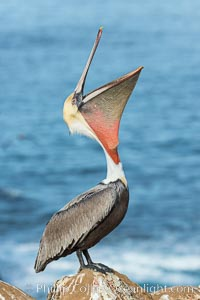 California Brown Pelican head throw, stretching its throat to keep it flexible and healthy. Note the winter mating plumage, olive and red throat, yellow head. La Jolla, California, USA, Pelecanus occidentalis, Pelecanus occidentalis californicus, natural history stock photograph, photo id 30339