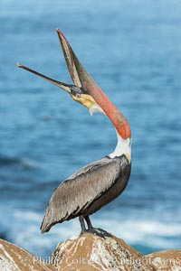 California Brown Pelican head throw, stretching its throat to keep it flexible and healthy. Note the winter mating plumage, olive and red throat, yellow head. La Jolla, USA, Pelecanus occidentalis, Pelecanus occidentalis californicus, natural history stock photograph, photo id 30341