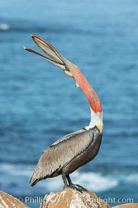 California Brown Pelican head throw, stretching its throat to keep it flexible and healthy. Note the winter mating plumage, olive and red throat, yellow head. La Jolla, USA, Pelecanus occidentalis, Pelecanus occidentalis californicus, natural history stock photograph, photo id 30346