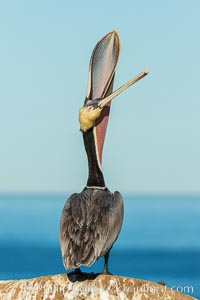 California Brown Pelican head throw, stretching its throat to keep it flexible and healthy. Note the winter mating plumage, olive and red throat, yellow head, Pelecanus occidentalis, Pelecanus occidentalis californicus, La Jolla