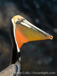 Brown pelican stretches its neck, to keep its throat pouch limber.  The characteristic winter mating plumage of the California race of brown pelican is shown, with deep red gular throat, yellow head and dark brown hindneck, Pelecanus occidentalis californicus, Pelecanus occidentalis, La Jolla
