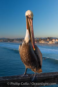 Image 27603, California brown pelican on Oceanside Pier, sitting on the pier railing, sunset, winter. Oceanside Pier, Oceanside, California, USA, Pelecanus occidentalis, Pelecanus occidentalis californicus, Phillip Colla, all rights reserved worldwide. Keywords: adult, animal, animalia, aves, bird, brown pelican, california, california brown pelican, chordata, coloration, creature, feather, nature, occidentalis, pelecanidae, pelecaniformes, pelecanus, pelecanus occidentalis, pelecanus occidentalis californicus, pelican, plumage, usa, vertebrata, vertebrate, wildlife.