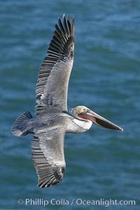 California brown pelican in flight, soaring over the ocean with its huge wings outstretched.  The wingspan of the brown pelican can be over 7 feet wide. The California race of the brown pelican holds endangered species status. La Jolla, California, USA, Pelecanus occidentalis, Pelecanus occidentalis californicus, natural history stock photograph, photo id 20079