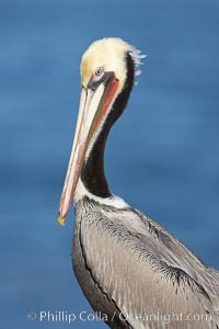 Brown pelican, winter plumage, showing bright red gular pouch and dark brown hindneck colors of breeding adults.  This large seabird has a wingspan over 7 feet wide. The California race of the brown pelican holds endangered species status, due largely to predation in the early 1900s and to decades of poor reproduction caused by DDT poisoning. La Jolla, California, USA, Pelecanus occidentalis, Pelecanus occidentalis californicus, natural history stock photograph, photo id 20082