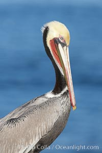 Brown pelican, winter plumage, showing bright red gular pouch and dark brown hindneck colors of breeding adults.  This large seabird has a wingspan over 7 feet wide. The California race of the brown pelican holds endangered species status, due largely to predation in the early 1900s and to decades of poor reproduction caused by DDT poisoning. La Jolla, California, USA, Pelecanus occidentalis, Pelecanus occidentalis californicus, natural history stock photograph, photo id 20086