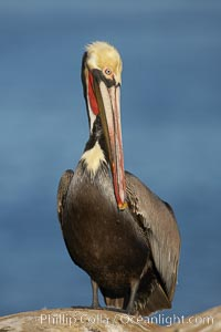Brown pelican, winter plumage, showing bright red gular pouch and dark brown hindneck colors of breeding adults.  This large seabird has a wingspan over 7 feet wide. The California race of the brown pelican holds endangered species status, due largely to predation in the early 1900s and to decades of poor reproduction caused by DDT poisoning, Pelecanus occidentalis, Pelecanus occidentalis californicus, La Jolla