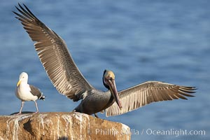 Brown pelican spreads its large wings as it balances on a perch above the ocean, displaying adult winter plumage.  This large seabird has a wingspan over 7 feet wide. The California race of the brown pelican holds endangered species status, due largely to predation in the early 1900s and to decades of poor reproduction caused by DDT poisoning, Pelecanus occidentalis, Pelecanus occidentalis californicus, La Jolla