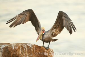 Brown pelican spreads its large wings as it balances on a perch above the ocean, early morning light, displaying adult winter plumage.  This large seabird has a wingspan over 7 feet wide. The California race of the brown pelican holds endangered species status, due largely to predation in the early 1900s and to decades of poor reproduction caused by DDT poisoning. La Jolla, California, USA, Pelecanus occidentalis, Pelecanus occidentalis californicus, natural history stock photograph, photo id 20283