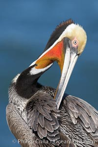 A brown pelican preening, reaching with its beak to the uropygial gland (preen gland) near the base of its tail.  Preen oil from the uropygial gland is spread by the pelican's beak and back of its head to all other feathers on the pelican, helping to keep them water resistant and dry.  Note adult winter breeding plumage in display, with brown neck, red gular throat pouch and yellow and white head, Pelecanus occidentalis, Pelecanus occidentalis californicus, La Jolla, California