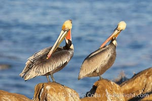 Pair of adult brown pelicans displaying winter breeding plumage with distinctive dark brown nape, yellow head feathers and red gular throat pouch, Pelecanus occidentalis, Pelecanus occidentalis californicus, La Jolla, California