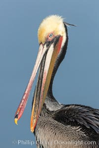 Brown pelican portrait, displaying winter plumage with distinctive yellow head feathers and colorful gular throat pouch. La Jolla, California, USA, Pelecanus occidentalis californicus, Pelecanus occidentalis, natural history stock photograph, photo id 36690