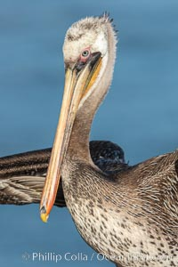 Brown pelican portrait, juvenile plumage with beautiful speckled breast, La Jolla, California