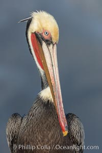 Brown pelican portrait, displaying winter plumage with distinctive yellow head feathers and colorful gular throat pouch, Pelecanus occidentalis californicus, Pelecanus occidentalis, La Jolla, California