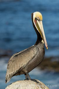 Brown pelican portrait, displaying winter plumage with distinctive yellow head feathers and colorful gular throat pouch, Pelecanus occidentalis, Pelecanus occidentalis californicus, La Jolla, California