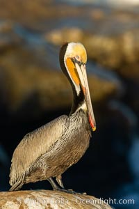 Brown pelican portrait, displaying winter plumage with distinctive yellow head feathers and colorful gular throat pouch, La Jolla, California