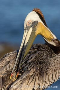 A brown pelican preening, reaching with its beak to the uropygial gland (preen gland) near the base of its tail. Preen oil from the uropygial gland is spread by the pelican's beak and back of its head to all other feathers on the pelican, helping to keep them water resistant and dry, Pelecanus occidentalis californicus, Pelecanus occidentalis, La Jolla, California