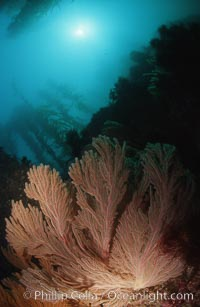 California golden gorgonian, Muricea californica, San Clemente Island