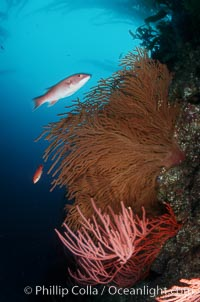 Image 02533, California Golden gorgonian, red gorgonian, sheephead. San Clemente Island, California, USA, Muricea californica, Lophogorgia chilensis, Semicossyphus pulcher, Phillip Colla, all rights reserved worldwide. Keywords: animal, california, california golden gorgonian, channel islands, coral, creature, environment, fish, gorgonian, invertebrate, landscape, lophogorgia chilensis, marine, marine fish, marine invertebrate, muricea californica, nature, ocean, oceans, outdoors, outside, pacific, san clemente island, scene, scenery, scenic, sea, sea fan, seascape, semicossyphus pulcher, soft coral, teleost fish, underwater, underwater landscape, usa, wildlife, wrasse.